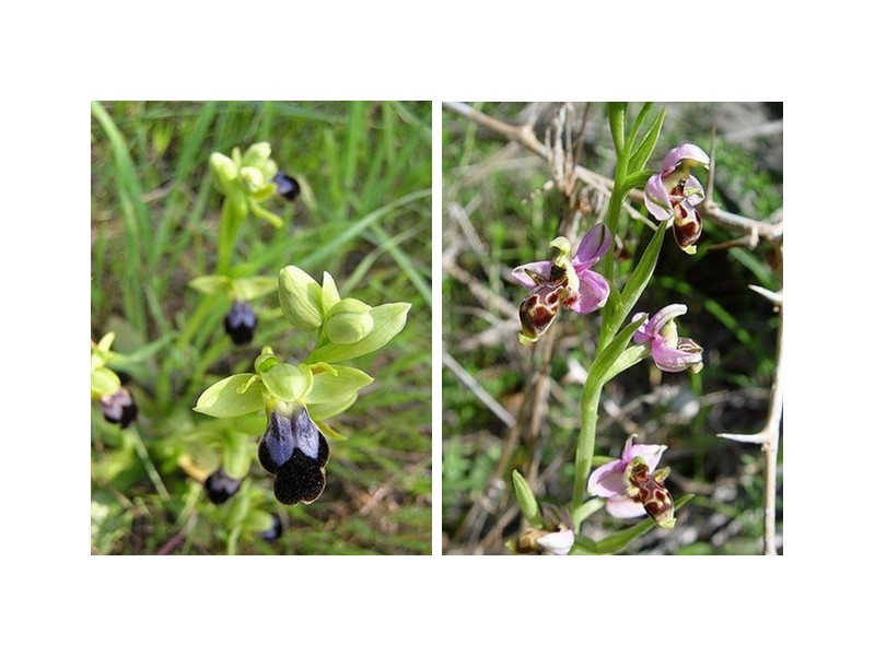 ophrys-brun-et-ophrys-abeille